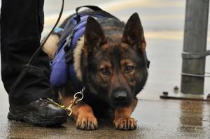 police chien odorologie détection