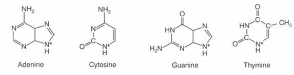 4 nucléotides copie