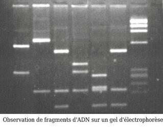 Electrophorèse - Police Scientifique - Historique - Révolution génétique