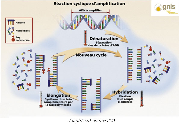 amplification PCR police scientifique copie