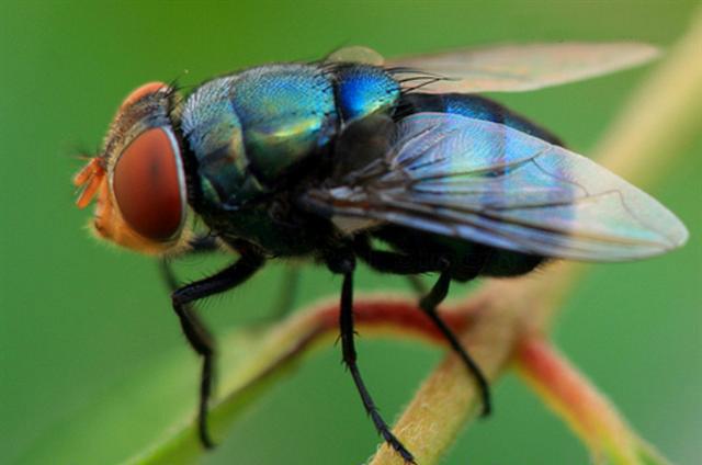 La mouche calliphora vomitoria