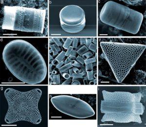 9 espèces de diatomées illustrant l'extraordinaire diversité de leurs formes et de structures. Les vues ont été obtenues par microscopie éléctronique à balayage (MEB)