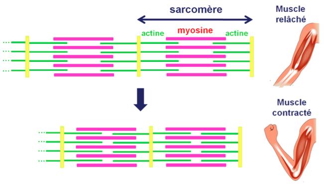 Liaison entre les filaments d'actine et de myosite lors de la contraction du muscle